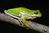 BC Hylidae Hylinae<br /> Hyla cinerea<br /> Green Treefrog<br /> Jefferson Parish