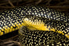 EEB Colubroidae Colubridae<br /> Lampropeltis holbrooki<br /> Speckled Kingsnake<br /> Calcasieu Parish