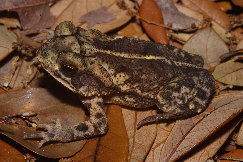 BA Bufonidae<br /> Incilius valliceps <br /> Gulf Coast Toad<br /> Jefferson Parish