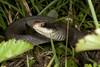 EEB Colubroidae Colubridae<br /> Coluber constrictor latrunculus<br /> Black Masked Racer<br /> Jefferson Parish
