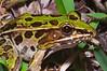 BD Ranidae<br /> Rana (Lithobates) sphenocephala <br /> Southern Leopard Frog<br /> Jefferson Parish