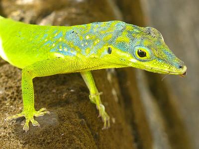 DA Iguania Iguanidae Dactyloidae Anolis roquet Martinique Anole 2014