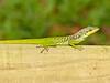 DA Iguania Iguanidae Dactyloidae<br /> Anolis roquet<br /> Martinique Anole<br /> 2014