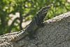 DA Iguania Iguanidae Iguanidae<br /> Ctenosaura hemilopha<br /> Cape Spiny Tailed Iguana<br /> Cabo San Lucas<br /> 2013