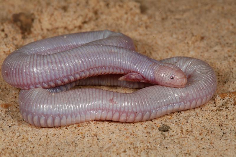 DZA Amphisbaenidae<br /> Bipes biporus<br /> Five Toed Worm Lizard<br /> La Paz<br /> 2013