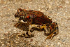 BA Bufonidae<br /> Anaxyrus punctatus <br /> Red-Spotted Toad<br /> Miraflores<br /> 2013