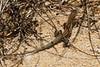 DCD Scincomorpha Teiidae<br /> Aspidoscelis hyperythra hyperythra<br /> Southern Orange Throated Whiptail<br /> Cabo San Lucas<br /> 2013