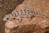DB Gekkota Phyllodactylidae<br /> Phyllodactylus xanti nocticolus<br /> Penisular Leaf Toed Gecko<br /> Loreto<br /> 2013