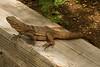 DA Iguania Iguanidae Iguanidae<br /> Ctenosaura hemilopha<br /> Cape Spiny Tailed Iguana<br /> Miraflores<br /> Specimen #1<br /> 2013