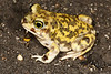 BH Scaphiopodidae<br /> Scaphiopus couchii<br /> Couch's Spadefoot<br /> San Jose Del Cabo<br /> 2013