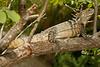 DA Iguania Iguanidae Iguanidae<br /> Ctenosaura hemilopha<br /> Cape Spiny Tailed Iguana<br /> Miraflores<br /> Specimen #2<br /> 2013
