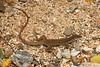 DCD Scincomorpha Teiidae<br /> Aspidoscelis tigris maximus<br /> Cape Tiger Whiptail<br /> Miraflores<br /> 2013