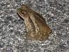 BA Bufonidae<br /> Incilius valliceps<br /> Gulf Coast Toad<br /> 2017