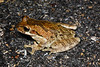 BC Hylidae Hylinae<br /> Smilisca baudinii<br /> Mexican Treefrog<br /> Campeche<br /> 2017