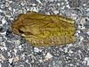 BC Hylidae Hylinae<br /> Smilisca baudinii<br /> Mexican Treefrog<br /> 2016