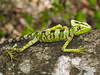 DA Iguania Iguanidae Corytophanidae<br /> Laemanctus serratus<br /> Serrated Casquehead Iguana<br /> Campeche <br /> 2017