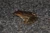 BD Ranidae<br /> Rana brownorum<br /> Brown's Leopard Frog<br /> Campeche<br /> 2017
