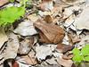 BA Bufonidae<br /> Incilius valliceps<br /> Gulf Coast Toad<br /> Calakmul<br /> 2017