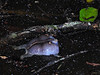 BB Rhinophrynidae<br /> Rhinophrynus dorsalis<br /> Mexican Burrowing Toad<br /> Campeche<br /> 2017
