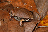 BF Microhylidae Gastrophryninae<br /> Hypopachus variolosus<br /> Sheep Frog<br /> Campeche<br /> 2017