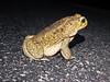 BA Bufonidae<br /> Rhinella horribilis<br /> Giant Toad<br /> 2017