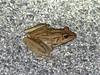 BD Ranidae<br /> Rana vaillanti<br /> Vaillant's Frog<br /> 2016