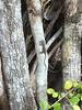 DA Iguania Iguanidae Dactyloidae<br /> Anolis sagrei mayensis<br /> Mayan Coastal Anole<br /> 2016