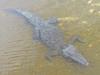 C Crocodylidae<br /> Crocodylus acutus<br /> American Crocodile<br /> 2016