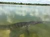 C Crocodylidae<br /> Crocodylus moreletii<br /> Morelet's Crocodile<br /> Coba<br /> 2016