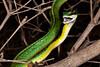 EEB Colubroidae Colubridae<br /> Leptophis diplotropis<br /> Pacific Coast Parrot Snake<br /> Alamos<br /> Specimen #1<br /> 2014