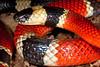 EI Colubroidea Elapidae Elapinae<br /> Micrurus distans distans<br /> Mexican West Coast Coral Snake<br /> Alamos<br /> Specimen #2<br /> 2014