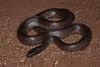 EEB Colubroidae Colubridae<br /> Lampropeltis getula nigrita<br /> Mexican Black Kingsnake<br /> Alamos<br /> Specimen #2<br /> 2014