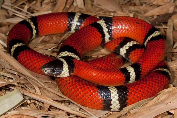 EEB Colubroidae Colubridae Lampropeltis polyzona sinaloae Sinaloan Milk Snake Alamos Specimen #1 2014