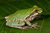 BC Hylidae Hylinae<br /> Smilisca baudinii<br /> Mexican Treefrog<br /> Alamos<br /> Specimen #1<br /> 2014