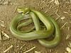 EEB Colubroidae Colubridae<br /> Senticolis triaspis intermedia<br /> Green Rat Snake<br /> Alamos<br /> Specimen #1<br /> 2014
