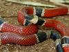 EI Colubroidea Elapidae Elapinae<br /> Micrurus distans distans<br /> Mexican West Coast Coral Snake<br /> Alamos<br /> Specimen #1<br /> 2014
