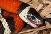 EEB Colubroidae Colubridae<br /> Lampropeltis polyzona sinaloae<br /> Sinaloan Milk Snake<br /> Alamos<br /> Specimen #1<br /> 2014
