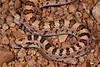 EEB Colubroidae Colubridae<br /> Phyllorhynchus decurtatus <br /> Spotted Leafnose Snake<br /> Bahia Kino<br /> 2014