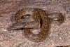 EEF Colubroidea Dipsadidae<br /> Hypsiglena chlorophaea chlorophaea<br /> Desert Nightsnake<br /> Alamos<br /> Specimen #2<br /> 2014