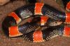 EEB Colubroidae Colubridae<br /> Rhinocheilus lecontei<br /> Long Nosed Snake<br /> Alamos<br /> Specimen #1<br /> 2014