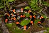 EEB Colubroidae Colubridae<br /> Rhinocheilus lecontei<br /> Long Nosed Snake<br /> Alamos<br /> Specimen #2<br /> 2014