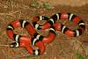 EEB Colubroidae Colubridae<br /> Lampropeltis polyzona sinaloae<br /> Sinaloan Milk Snake<br /> Alamos<br /> Specimen #2<br /> 2014