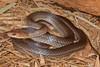 EEB Colubroidae Colubridae<br /> Masticophis mentovarius<br /> Tropical Whipsnake<br /> Alamos<br /> 2014