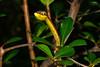 EEB Colubroidae Colubridae<br /> Oxybelis aeneus<br /> Brown Vine Snake<br /> Alamos<br /> 2014