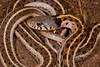EG Colubroidea Natricidae<br /> Thamnophis cyrtopsis collaris<br /> Western Black Necked Garter Snake<br /> Alamos<br /> 2014