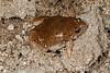 BF Microhylidae Gastrophryninae<br /> Gastrophryne olivacea<br /> Great Plains Narrowmouth Toad<br /> Alamos<br /> Specimen #1<br /> 2017
