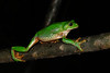 BC  Hylidae Phyllomedusinae<br /> Agalychnis dacnicolor<br /> Mexican Giant Tree Frog<br /> Alamos<br /> Specimen #1<br /> 2017