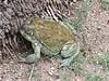 BA Bufonidae<br /> Incilius alvarius<br /> Sonoran Desert Toad<br /> Alamos<br /> 2017<br /> Iphone