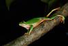 BC  Hylidae Phyllomedusinae<br /> Agalychnis dacnicolor<br /> Mexican Giant Tree Frog<br /> Alamos<br /> Specimen #1<br /> 2017