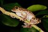 BC Hylidae Hylinae<br /> Smilisca fodiens<br /> Lowland Burrowing Treefrog<br /> Alamos<br /> 2017
